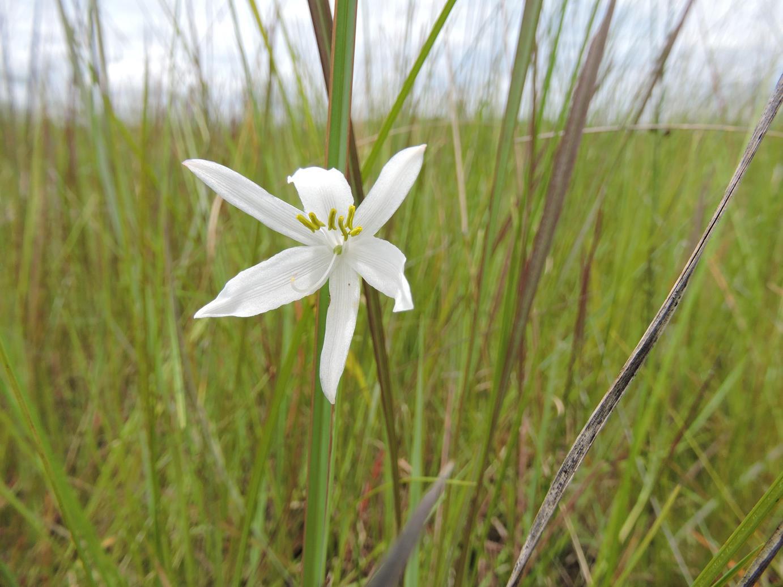 Chlorophytum cameronii var. pterocaulon
