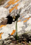 Chlorophytum pygmaeum subsp. rhodesianum