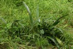 Chlorophytum sphacelatum var. milanjianum