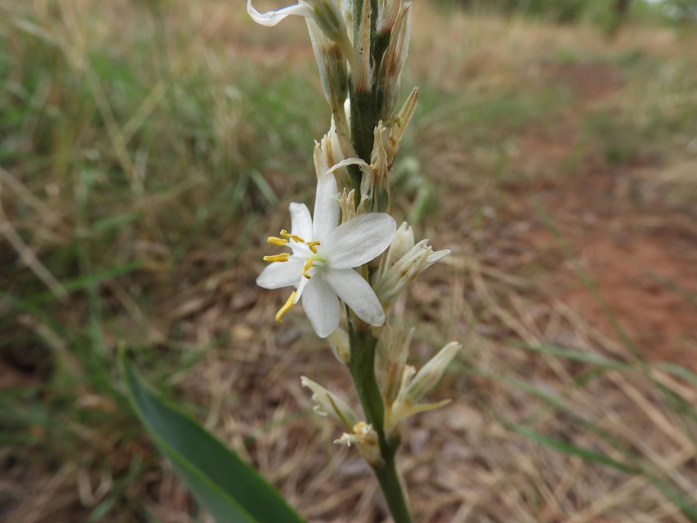 Chlorophytum subpetiolatum