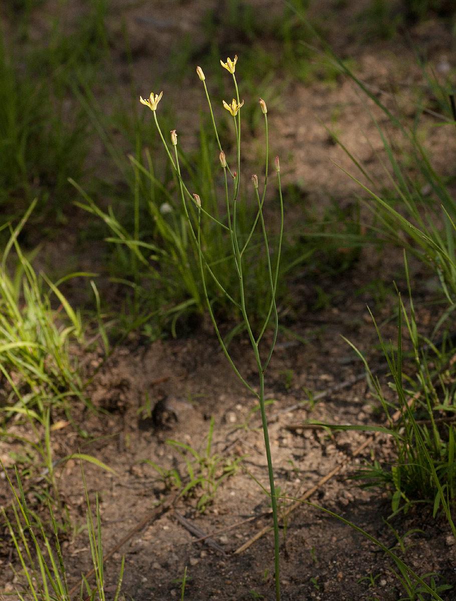 Eriospermum flagelliforme