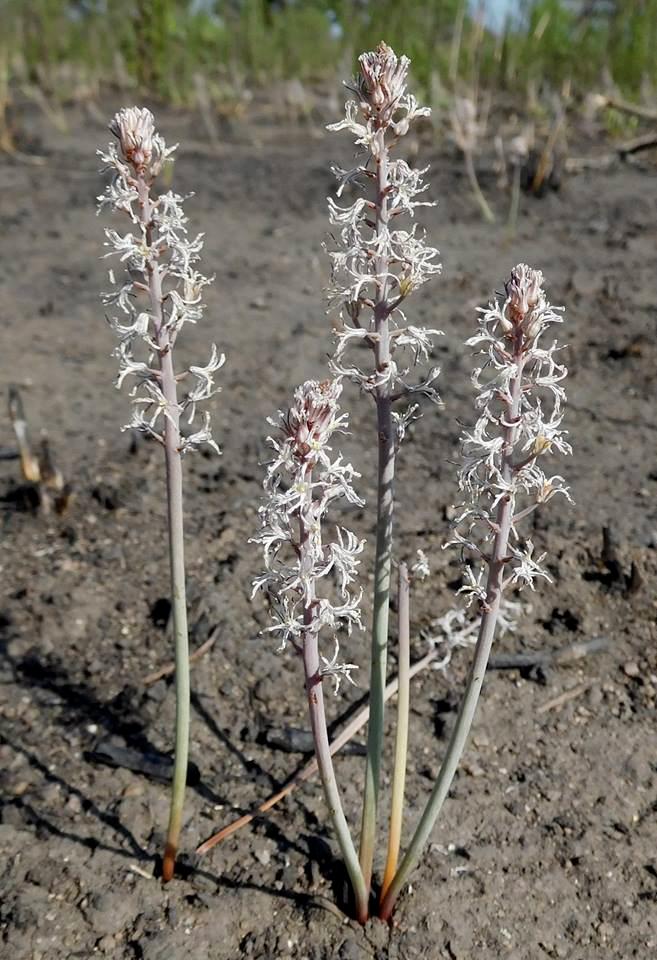 Eriospermum kirkii