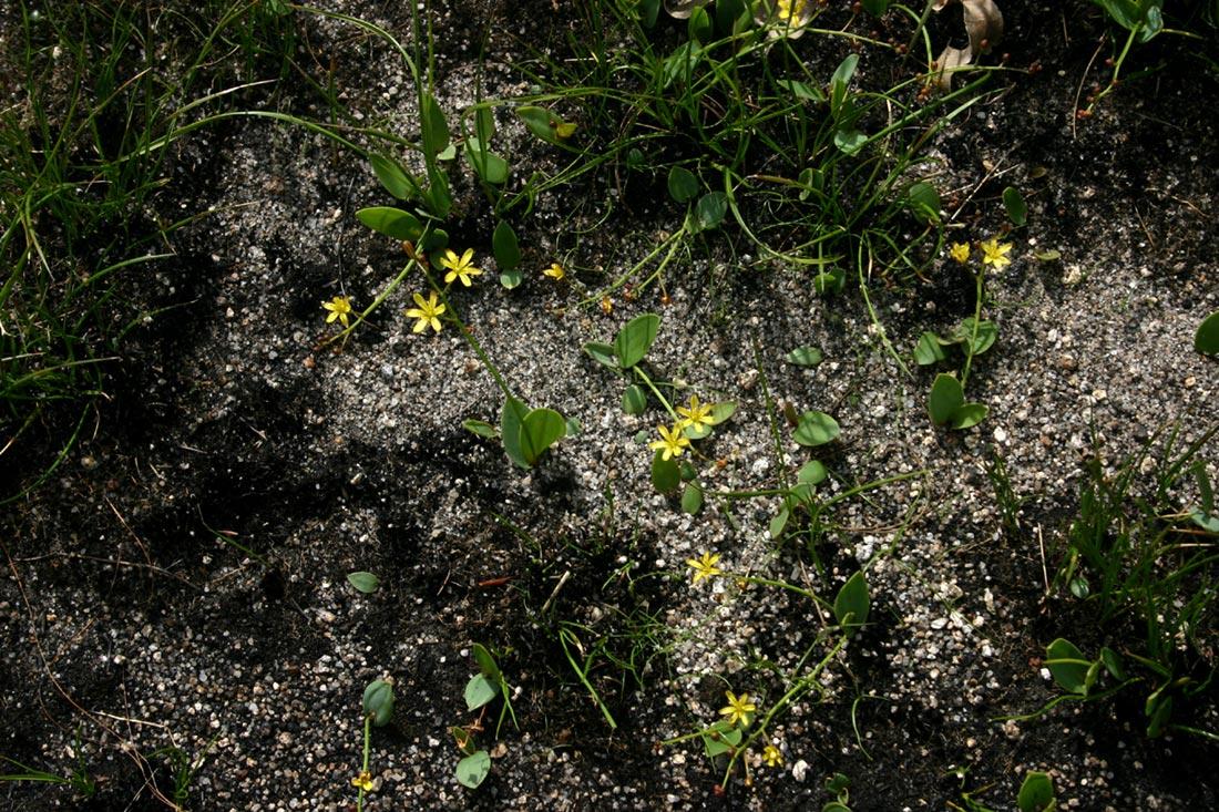 Eriospermum mackenii subsp. mackenii