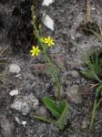 Eriospermum mackenii subsp. phippsii