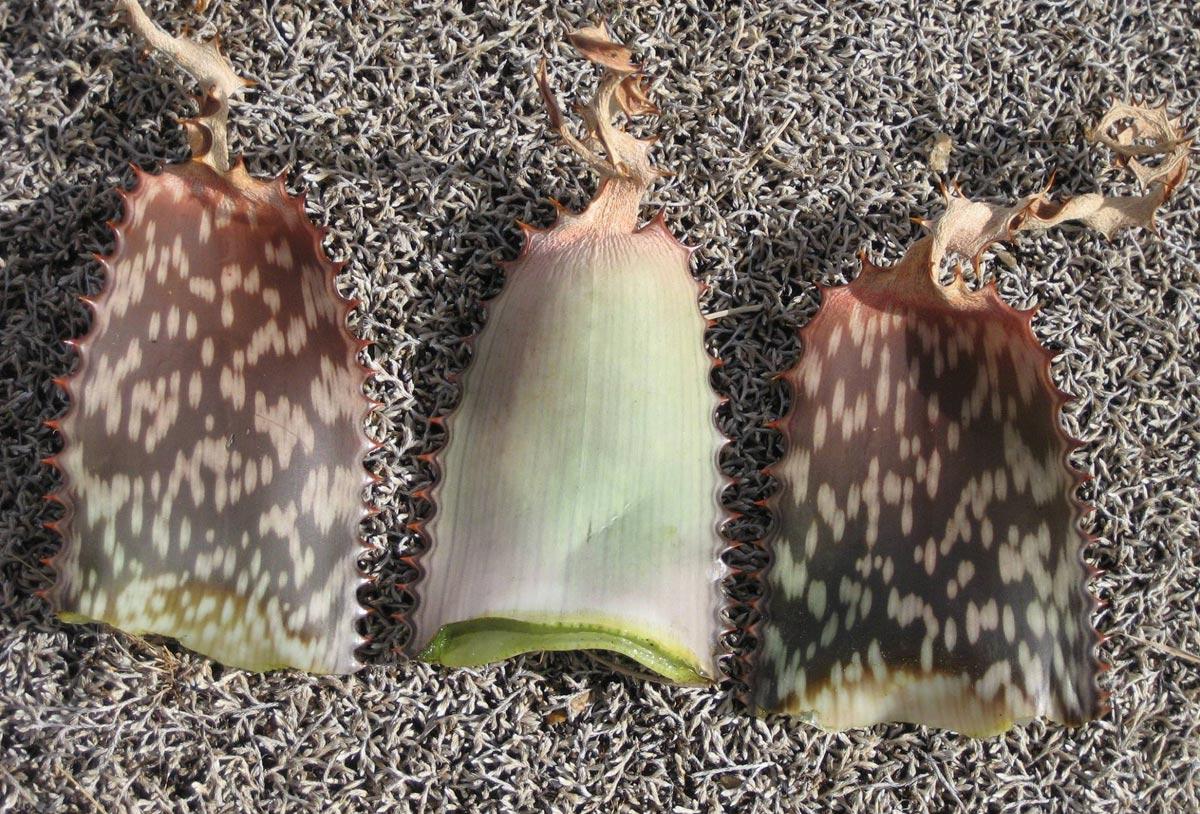 Aloe carnea