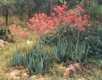 Aloe chabaudii var. chabaudii