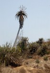 Aloe excelsa var. excelsa
