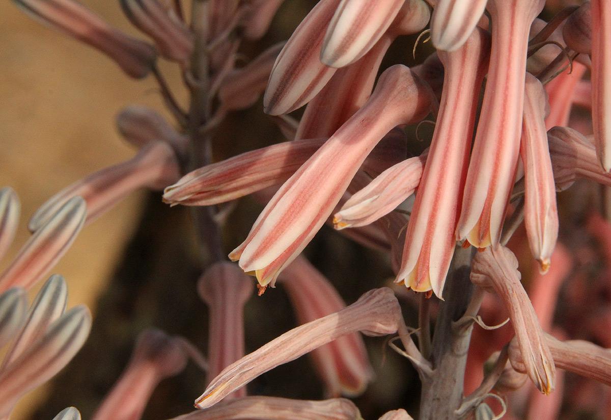 Aloe greatheadii var. greatheadii