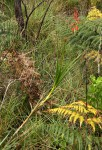 Aloe hazeliana var. hazeliana