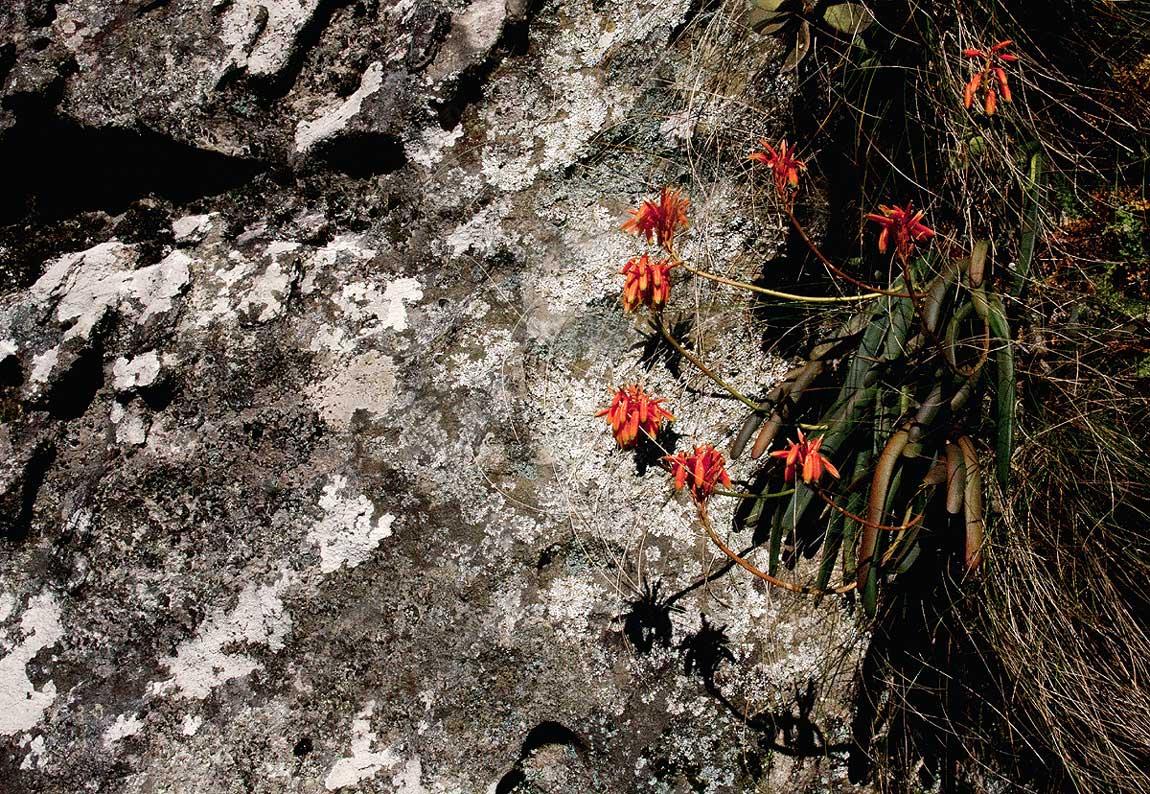 Aloe hazeliana var. howmanii