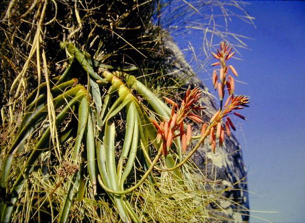 Aloe inyangensis var. kimberleyana