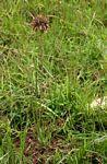 Aloe myriacantha