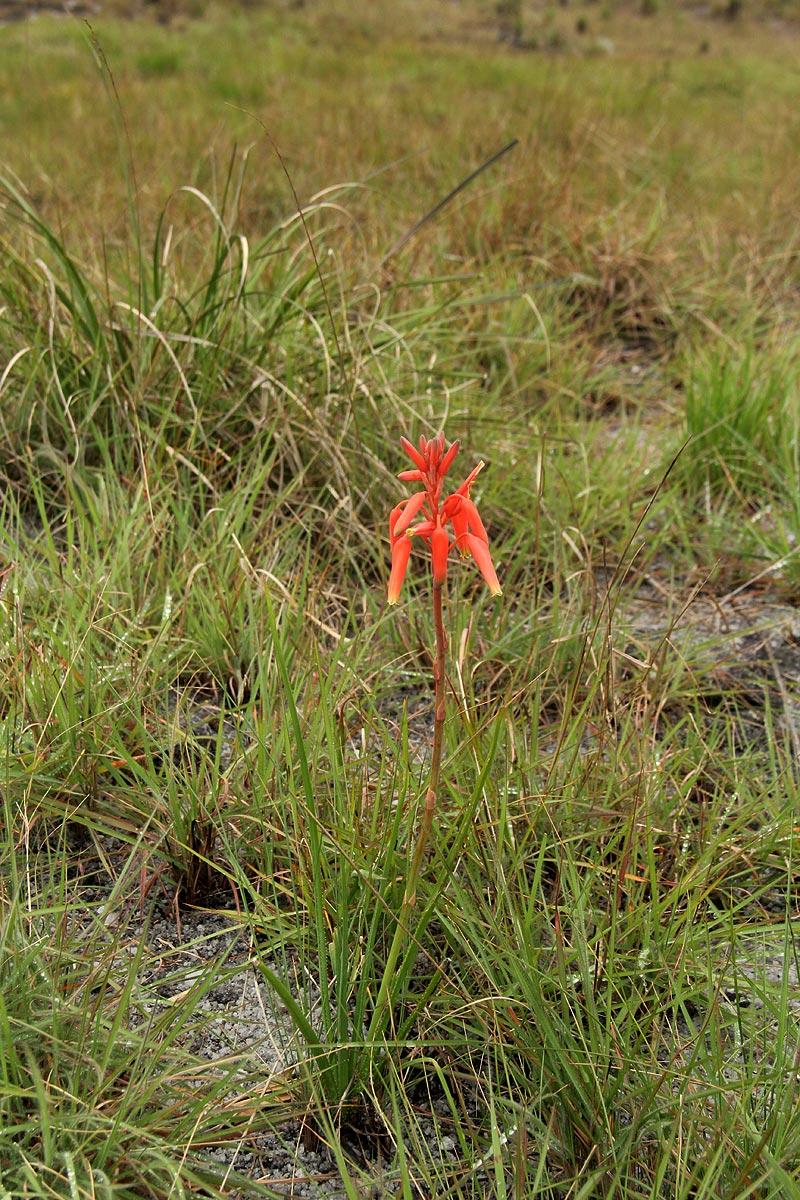 Aloe plowesii