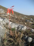 Aloe wildii