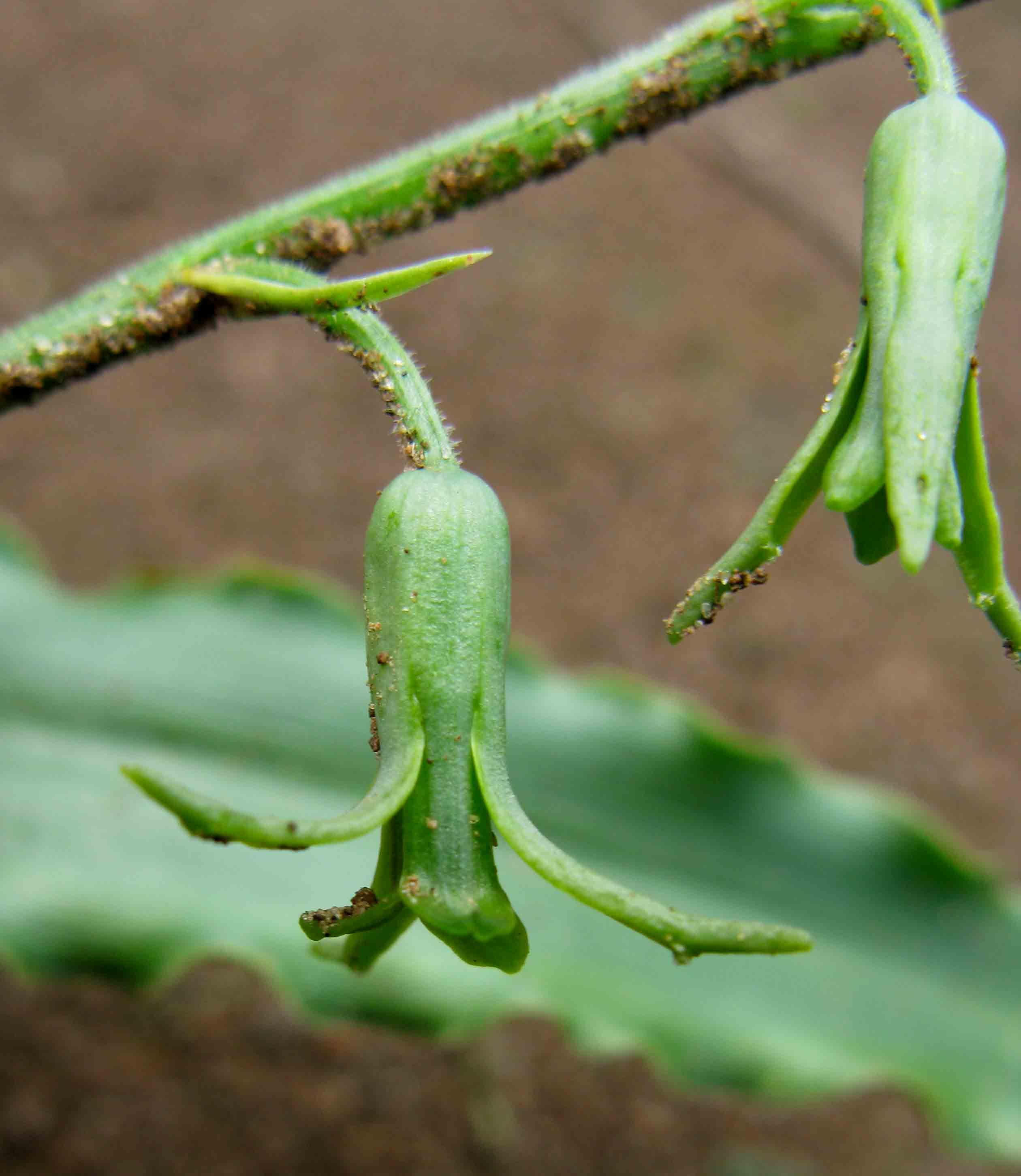 Dipcadi platyphyllum