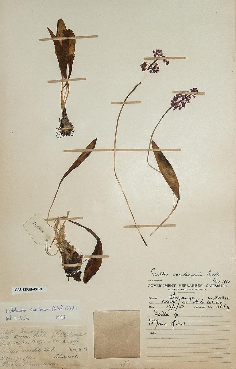 Ledebouria sandersonii
