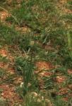 Ornithogalum tenuifolium subsp. tenuifolium