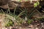 Sansevieria aethiopica