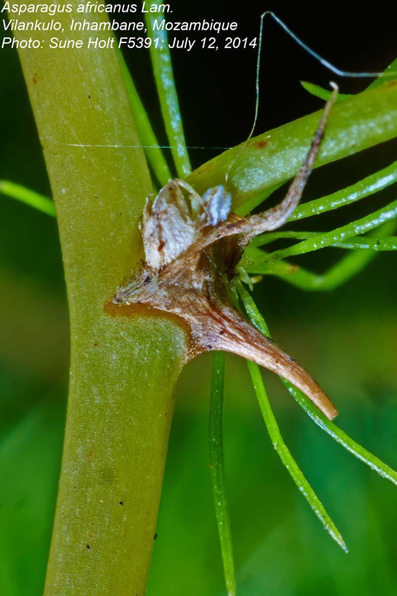 Asparagus africanus var. africanus