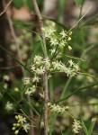 Asparagus falcatus var. falcatus