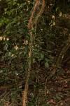 Behnia reticulata