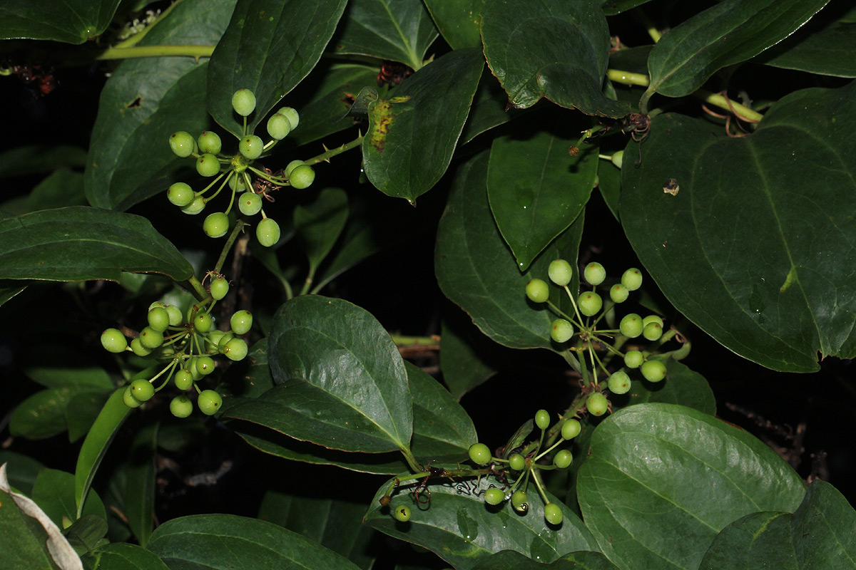 Smilax anceps
