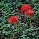 Scadoxus multiflorus subsp. multiflorus