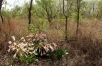 Crinum stuhlmannii subsp. delagoense