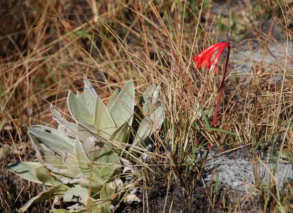 Cyrtanthus rhodesianus