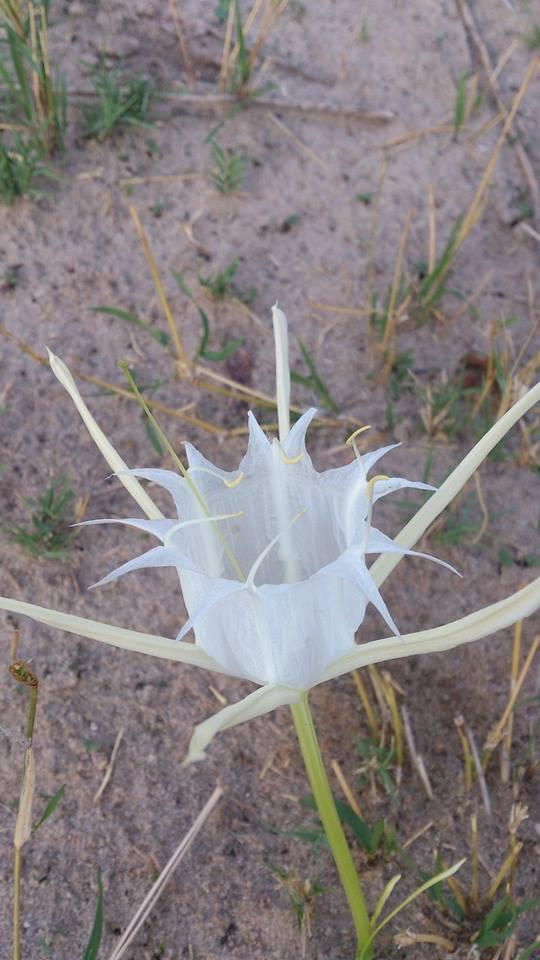 Pancratium tenuifolium
