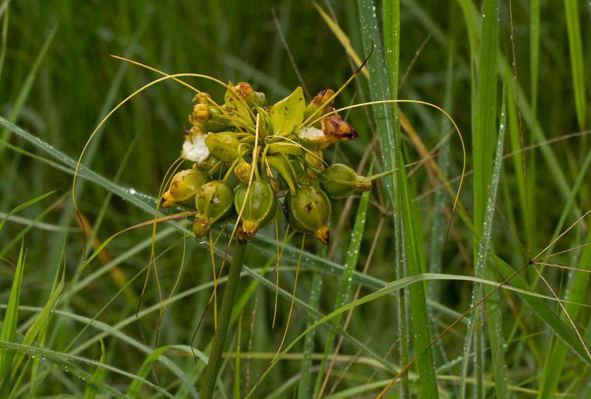Tacca leontopetaloides