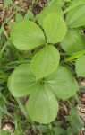 Dioscorea dumetorum