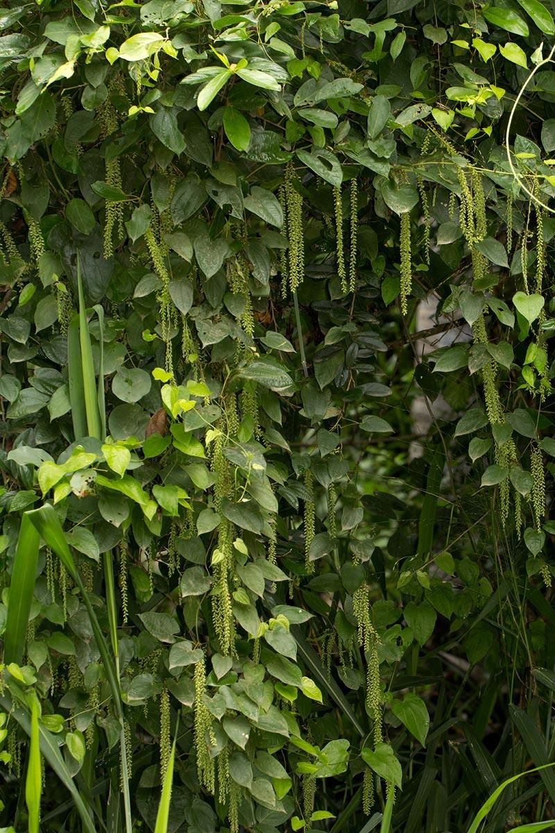 Dioscorea hirtiflora subsp. pedicellata