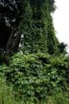 Dioscorea sansibarensis