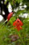 Gladiolus decoratus