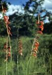 Gladiolus magnificus