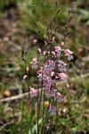 Gladiolus unguiculatus