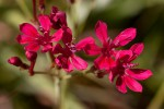 Lapeirousia erythrantha