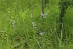 Afrosolen erythranthus