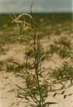 Lapeirousia littoralis subsp. caudata