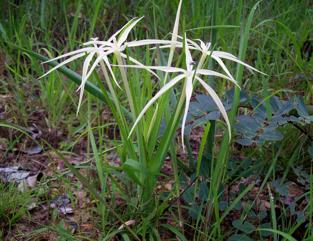 Lapeirousia odoratissima