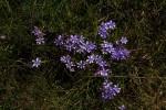 Lapeirousia setifolia