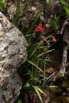Freesia grandiflora subsp. grandiflora