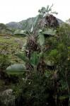 Strelitzia caudata