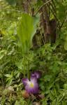 Siphonochilus aethiopicus