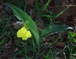 Siphonochilus kirkii - yellow-flowered form