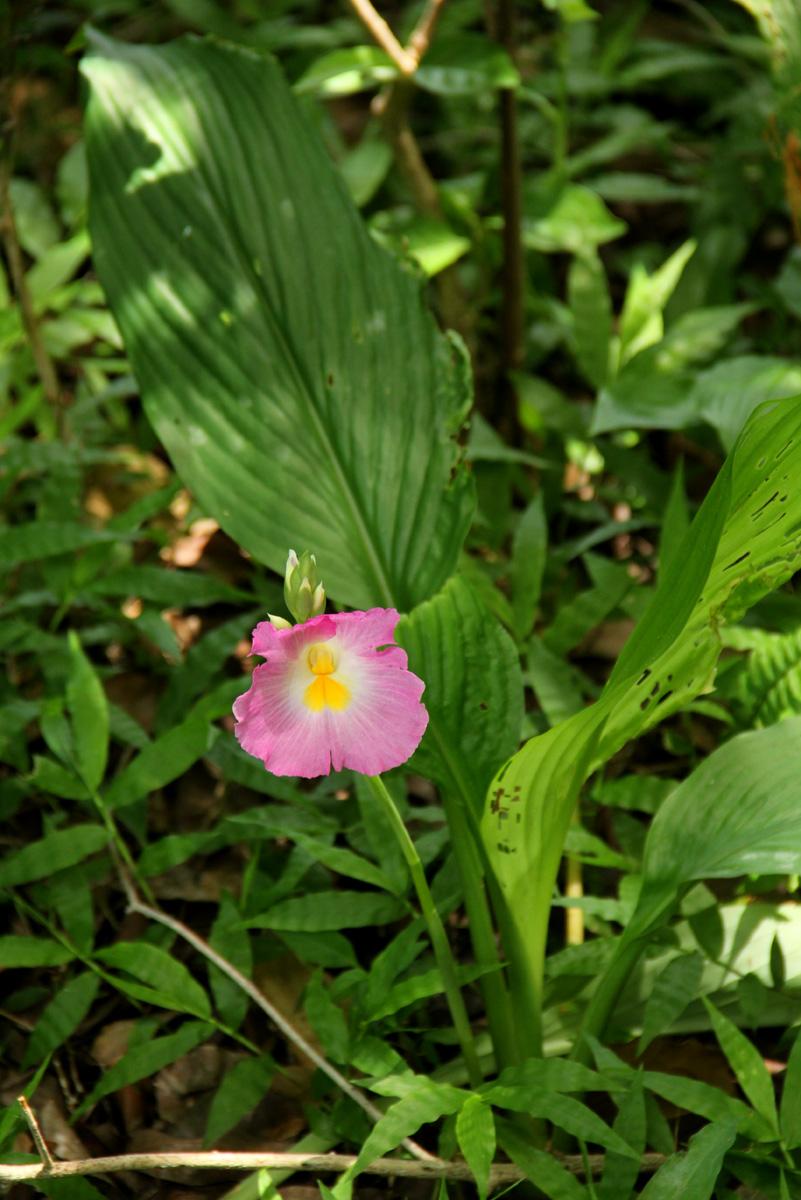Siphonochilus kirkii