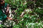 Costus spectabilis