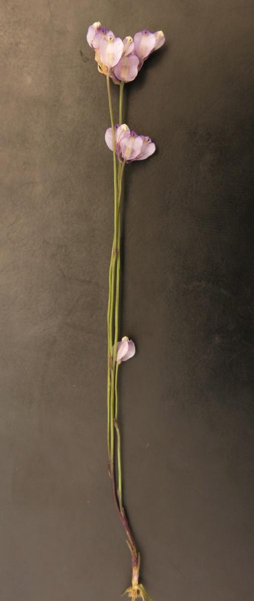 Burmannia madagascariensis