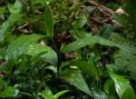 Corymborkis corymbis